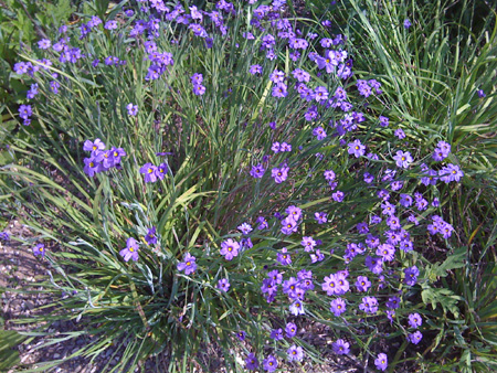 blue_eyed_grass