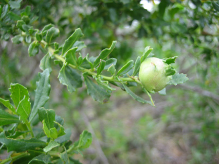 coyote_brush_gall