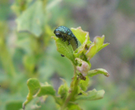 green_larva_head