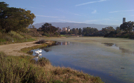 ucsb_swans