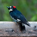 535px-Melanerpes_formicivorus_-Madera_Canyon,_Arizona,_USA_-female-8-2c