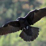 Raven_(Corvus_corax)_(2)